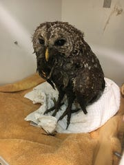 A barred owl is placed in an animal intensive care