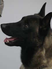 Belgian Malinois Radar is shown during a press conference as he and fellow Belgian Malinois Leo were introduced at the Marathon County Sheriff's Department in Wausau, Thursday, January 2, 2014.