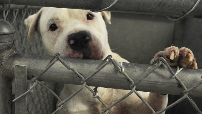 Diva, one of more than 20 dogs housed at the Lyon County Animal Shelter, peers from inside her kennel.