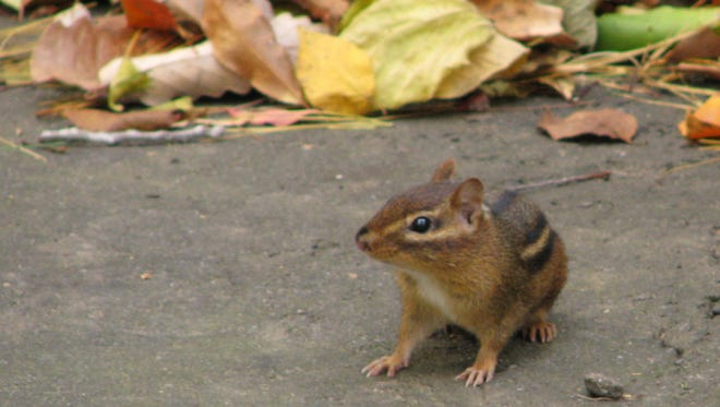 Are you a chipmunk or a flying squirrel?