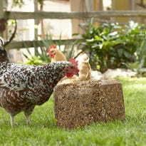 3 steps to a peaceful backyard chicken flock
