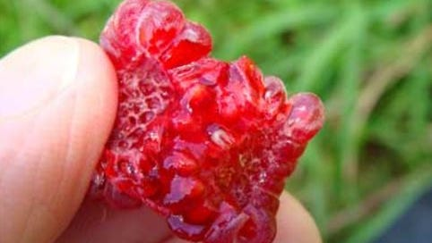 A maggot of a spotted wing drosophilia is seen in this raspberry.