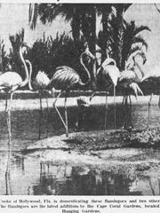 "In 1965, 10 flamingos were added to the Cape Coral Gardens. Imported from Peru and Colombia, they ""were placed on a small island in the lagoon near the Hanging Gardens. """