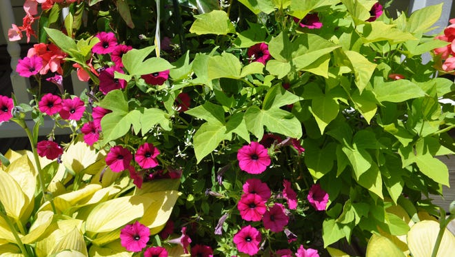 Sweet potatoes make great filler plants for containers.