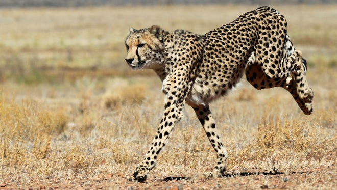 A cheetah shows off its speed at the Inverdoom game reserve, near Cape Town, South Africa.