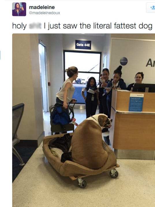 This Massive Dog Flew In First Class On American Airlines