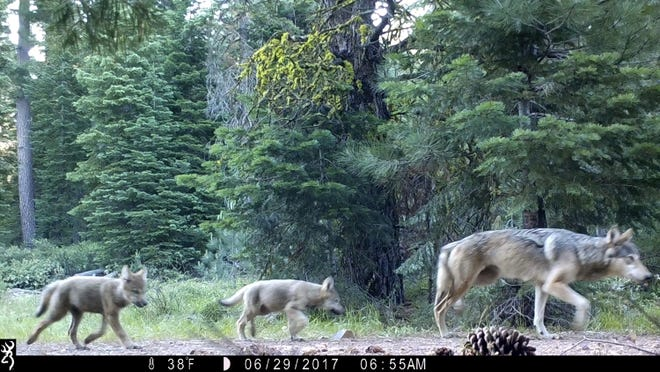This June 29, 2017 remote camera image released by the U.S. Forest Service shows a female gray wolf and two of the three pups born in 2017 in the wilds of Lassen National Forest in Northern California.
