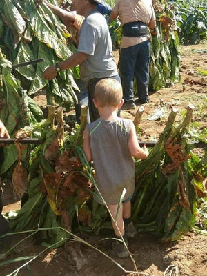 Donnie Killian's grandson Gauge helps workers in the family's tobacco fields.