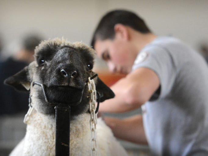 Kyle Burkichter of Lancaster, sheers his sheep during