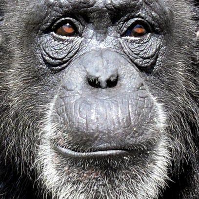 A chimp at Chimp Haven.