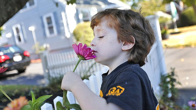 Quinn Waters of Weymouth enjoys some zinnias he and his mom planted from seeds on Thursday Oct. 1, 2020. Greg Derr/ The Patriot Ledger