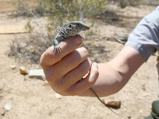A whiptail lizard was captured during a scientific survey in Joshua Tree National Park.