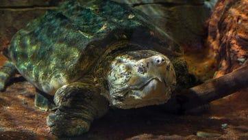 Newport Aquarium's 150-year-old turtle dies