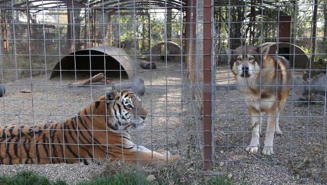 A tiger and a wolf in side-by-side cages at the Cricket Hollow Zoo on Wednesday, Oct. 21, 2015 in Manchester.
