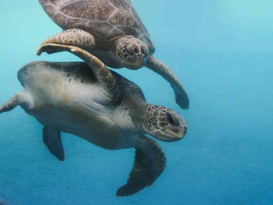 Sea turtles were among the animals were returned to
