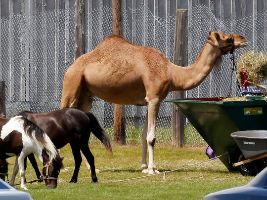 Circus animals are fed as the investigation  of a circus tent that collapsed during a show Monday continues at the Lancaster Fair grounds in Lancaster, N.H. Tuesday Aug. 4, 2015. A quick moving storm with 60 mph winds hit the tent shortly after the show started killing a father and daughter Monday. Shows planned for Tuesday were canceled. (AP Photo/Jim Cole)