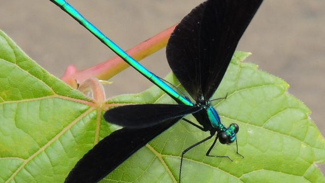 In shimmering emerald and jet black, the ebony jewelwing is one of the most beautiful insects found in Wisconsin.