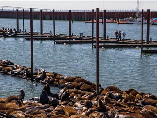 In this May 26, 2015 photo, California sea lions and