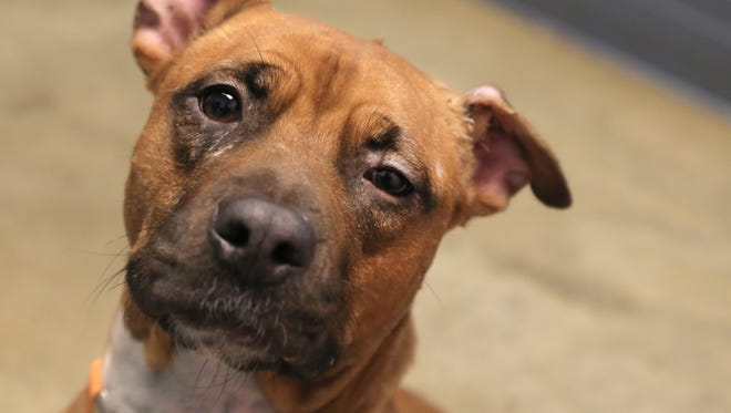 Mirielle, a 4-year-old pitbull mix, is available for adoption at the Richland County Dog Shelter. The shelter was recognized Wednesday for five years of being a no-kill facility.