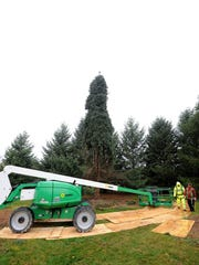 MNJ 1107 Lex man's 53-foot blue spruce 02.jpg