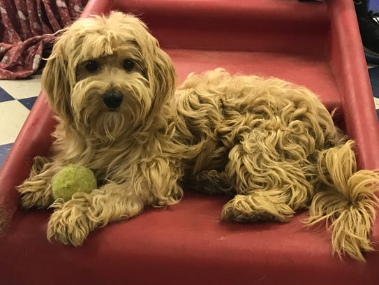 Chucky is a 16-pound, 1-year-old, male cocker spaniel