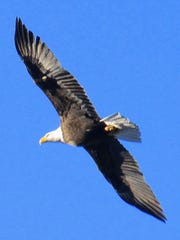 A bald eagle is captured by Leo Martinez in flight over Alto Lake.
