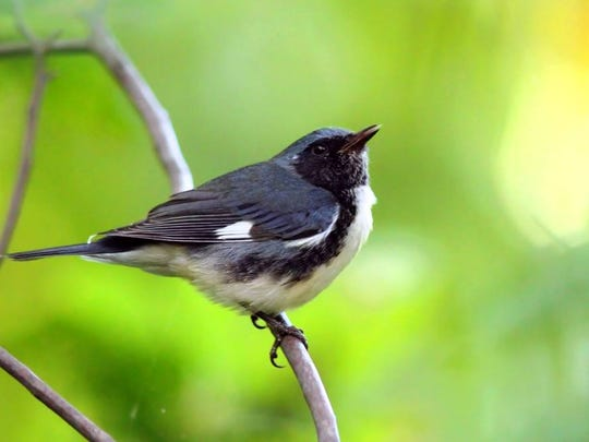 Sitting pretty: A black-throated blue warbler paying a visit to the Tenafly Nature Center.