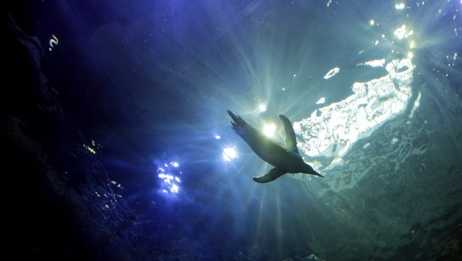 A penguin swims in the new Polk Penguin Conservation Center at the Detroit Zoo.