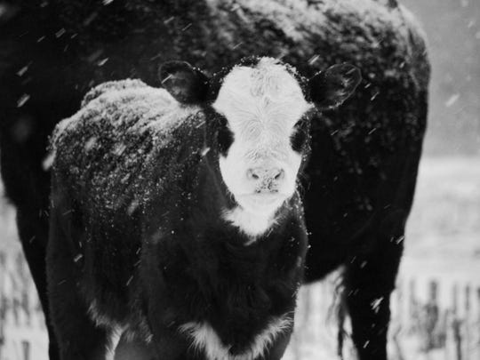 FOURTH PLACE: Sarah Kaschmitter of Sauk Rapids photographed this cow-calf pair Feb. 11 on the family farm in Mayhew Lake Township. Animals are a favorite subject.