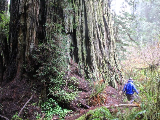A picture from inside the Grove of Titans at northwest California's  Jedediah Smith Redwoods State Park.
