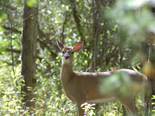 Not surprisingly, deer were on the agenda again at