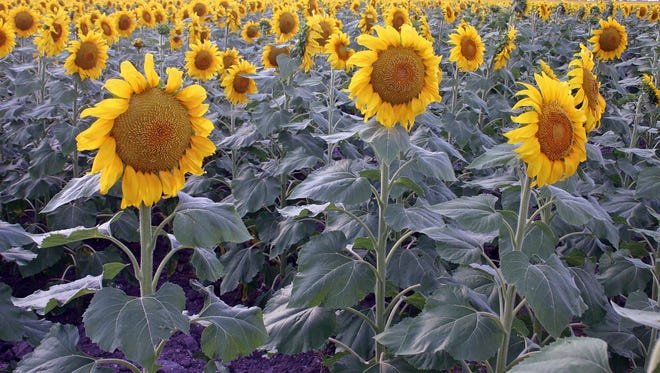 Sunflowers are one of several oilseed crops that have become popular alternatives for producers. This year, sunflower seed prices are lower due to an abundant supply following multiple years of record-breaking harvests.