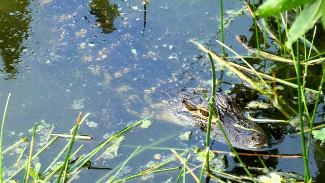 Stock image of an American Alligator juvenile in the wetlands.