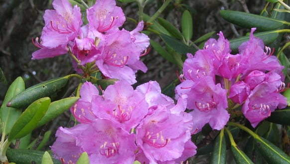 The Rhododendron 10K is part of the annual Rhododendron