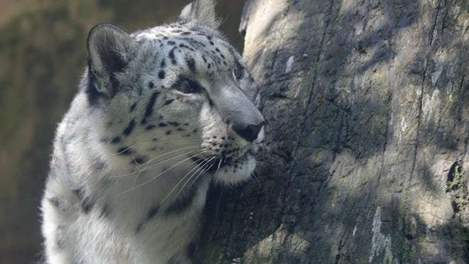 The Akron Zoo's snow leopard Baya keeps an eye on visitors Wednesday, Aug. 5, 2020, in Akron, Ohio.