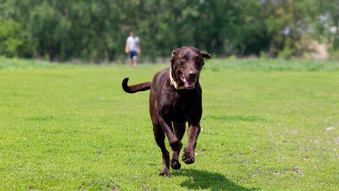 Moose the dog runs ahead of his owner Cody Russell of Stevens Point at the Stevens Point Dog Park, Thursday, May 28, 2015.