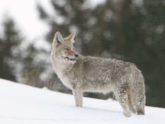 As the middle child, coyotes have a complex relationship