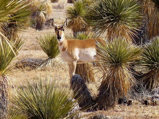 A curious antelope surveys its surroundings among a thicket of yucca plants. Healthy and clean wildlife habitat is important for the survival of all desert animals.