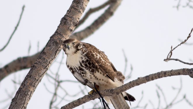 A passage red tail hawk named Skye, waits in a tree for a rabbit Saturday, February 14, 2015.