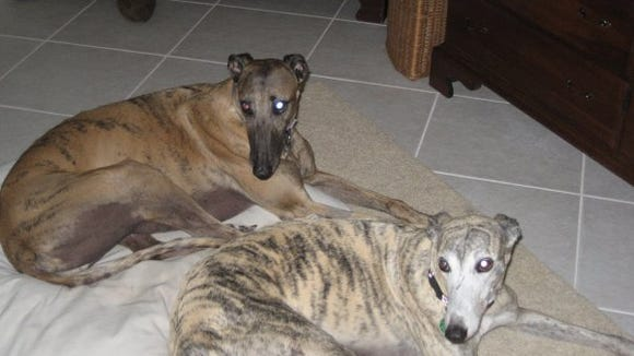 Baily (left) and Topaz. Two rescue greyhounds, and former racers, owned by Jim and Lenora Corbett of Melbourne. Bailey passed away two years ago and Topaz's new sibling is Beau, another rescue greyhound.