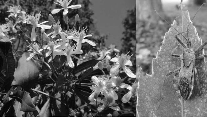 While you're cleaning up the Clematis terniflora (left), be sure to watch for stinging insects such as Arilus cristatus (right).