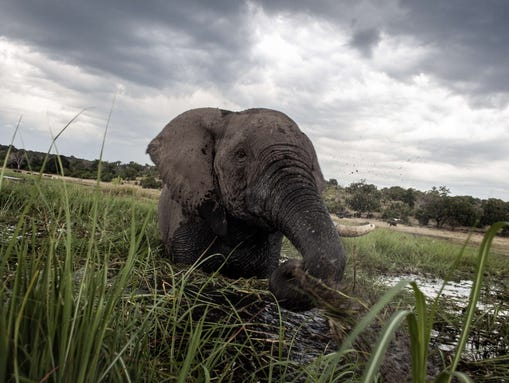 An elephant splashes at sunset in the waters of the