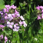Deceptively beautiful, Dame's rocket is often mistaken for native wild phlox and planted in gardens and borders. Like many invasive plants, late spring and early summer are the peak bloom season.