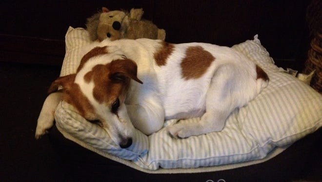 Toby the Jack Russell hid his pain as long as he could.