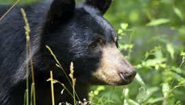 Bear caught in residential area, police say