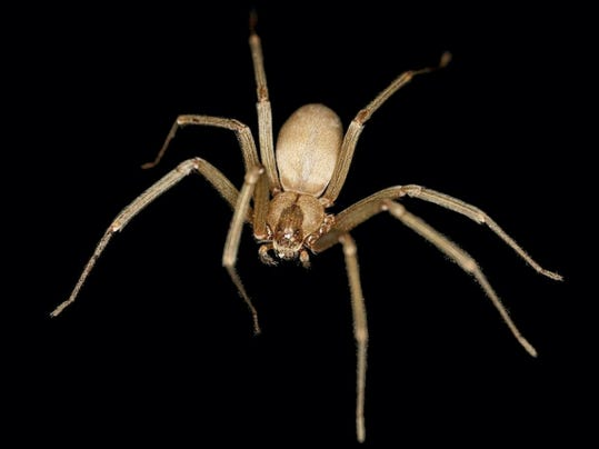 A brown recluse spider