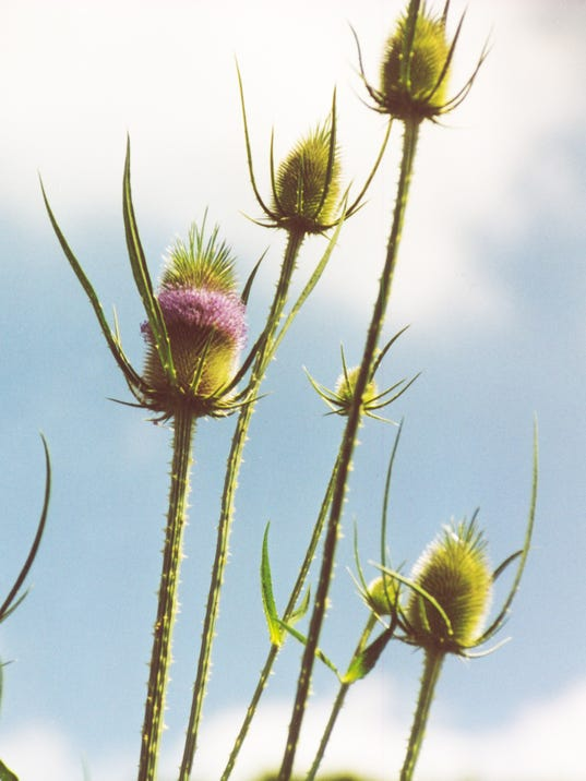 invasive20-teasel