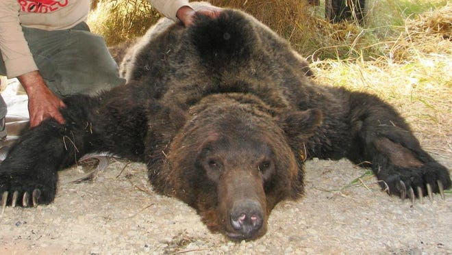 A 17-year-old grizzly bear has been relocated in northwest Montana after killing a domestic pig.