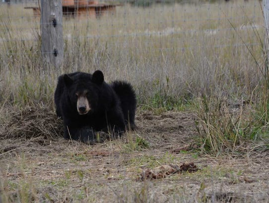 Ricki the bear, in a recent photo, is preparing for