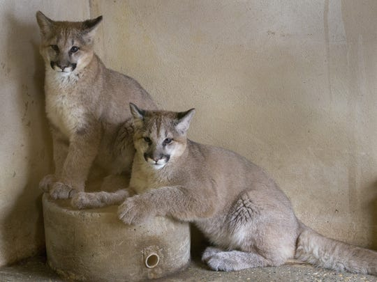 Shiloh and Tocho, two cougar cubs took time to get used to their new environment at Popcorn Park Zoo.
